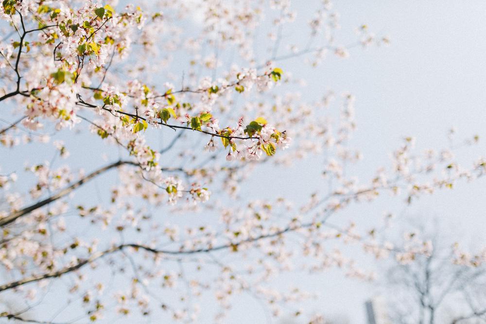 reportage-voyage-new-york-usa-avril-2015-printemps-rose-fushia-photographie-11