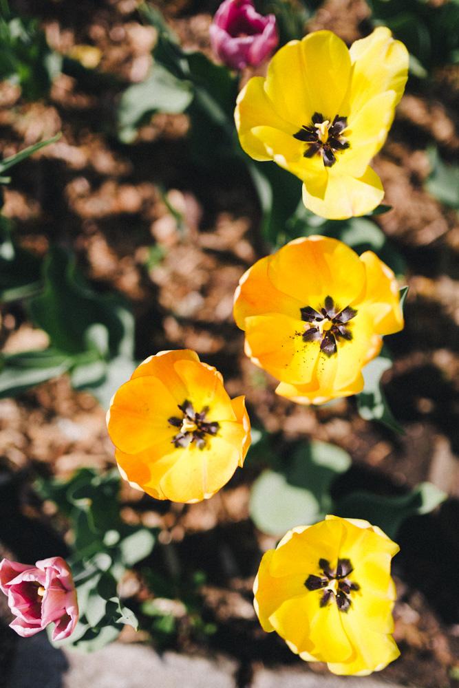 reportage-voyage-new-york-usa-avril-2015-printemps-rose-fushia-photographie-14