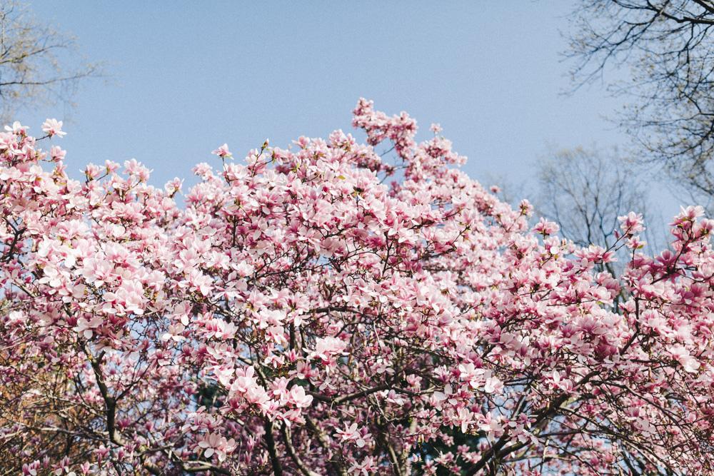 reportage-voyage-new-york-usa-avril-2015-printemps-rose-fushia-photographie-25