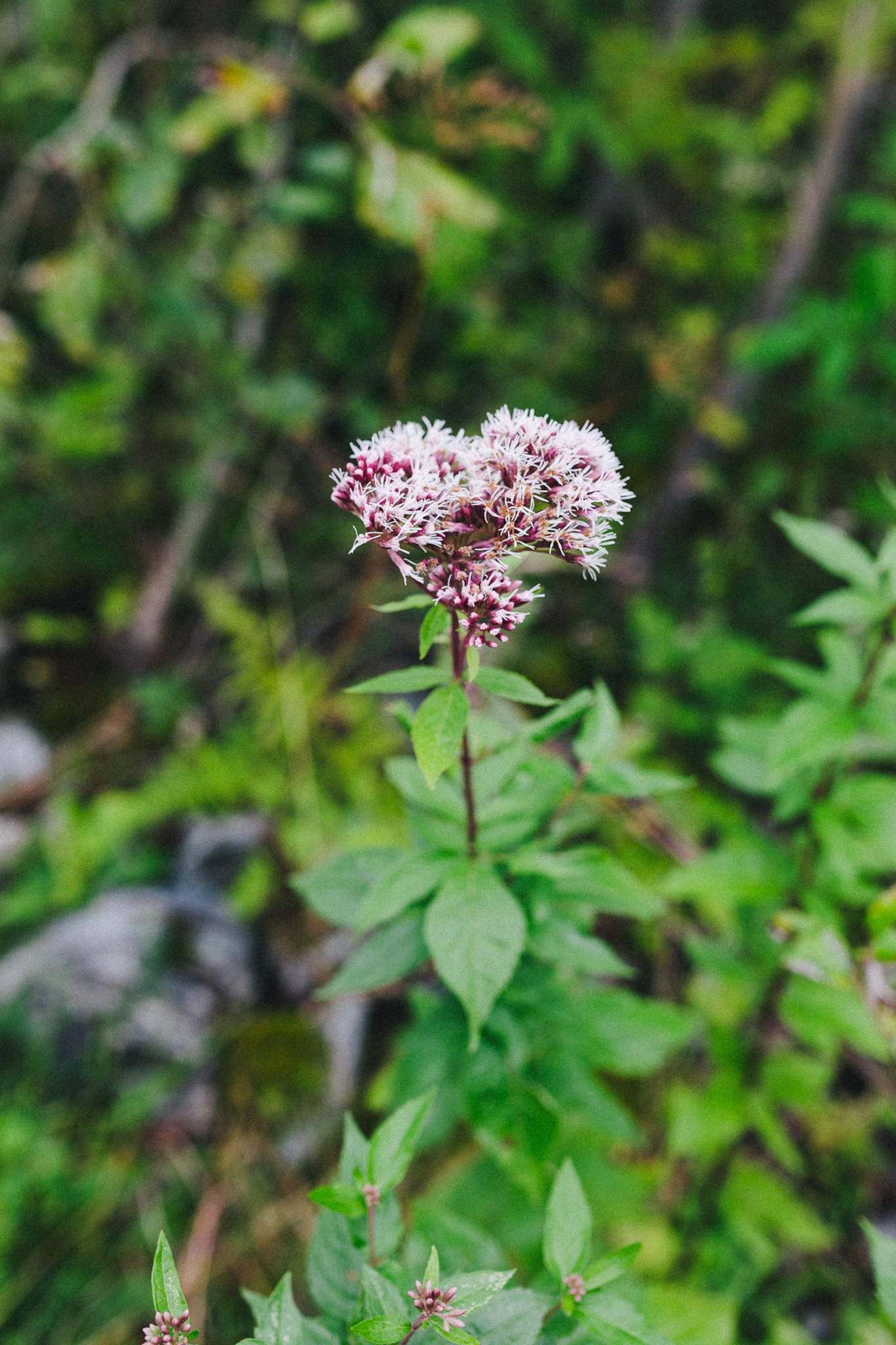 randonnee-au-lac-d-ayes-pyrenees-ariegeoises-rose-fushia-photographie026